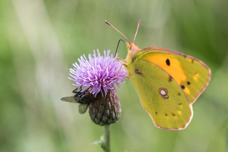 oranje luzernevlinder - Nog maar eens een vlinder, Deze heb ik vorige week gezien en natuurlijk meteen op foto vastgelegd. Met de paddenstoelen lukt h