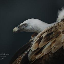 ©TamaraNederkoornPhotography-vale gier