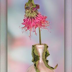 een heel aparte bloem..............