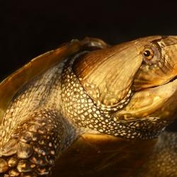 Grootkopschildpad