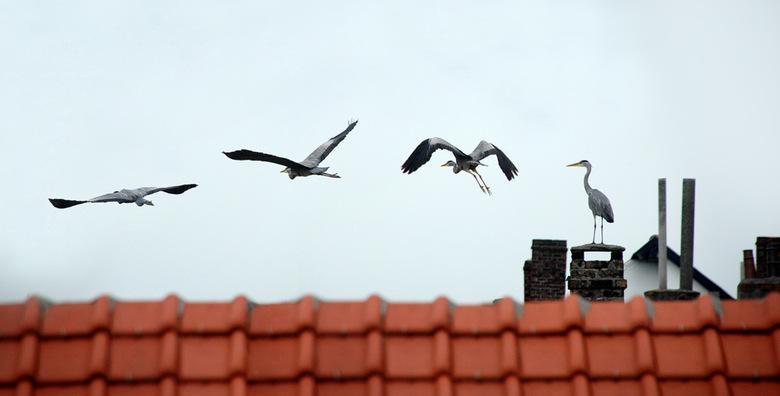 Reiger op bezoek - Dit is een beeld die ik in Photoshop gemaakt heb ahv diverse foto's van een reiger op het dak van onze buren. Het resultaat is