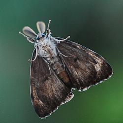 Nachtvlinder oid
