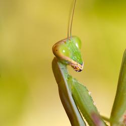 Mantis op Cyprus