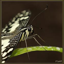 detail Papilio demoleus