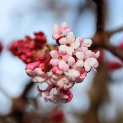 Voorjaar gevoel Viburnum