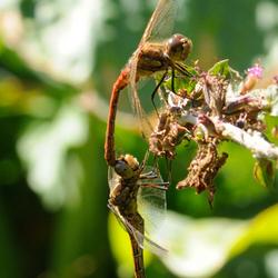 2 libellen boven de vijver