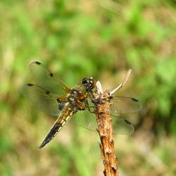 libellula Lineaus - viervlek(vrouw)