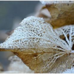 Hortensia in de winter