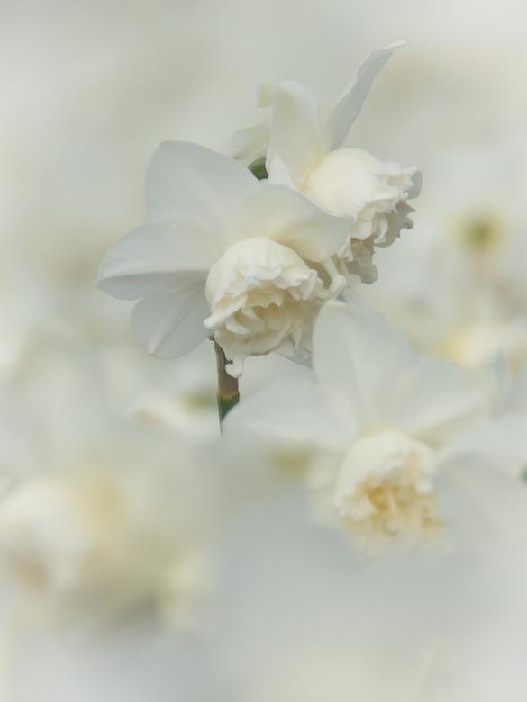 Narcis - Ook de narcissen vormden een geweldig veld. Vond het dit jaar leuk wat detail foto´s van de bloemen te maken. Lekker even zitten op de grond