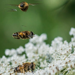 Rolling shutter effect...............blinde bijen(zweefvliegen)