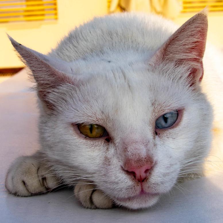 Pichu - De mooie kat met twee verschildende ogen.