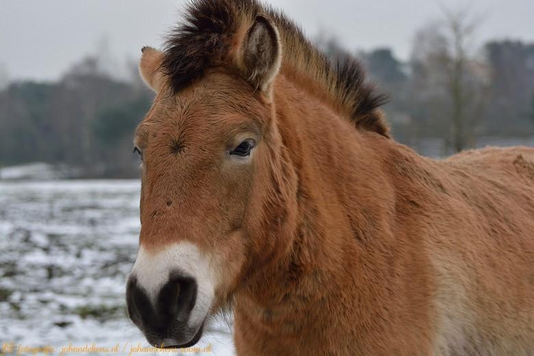 Przewalskipaard. - Het przewalskipaard (Equus ferus przewalskii) is een wilde ondersoort van paarden, die in 1967 voor het laatst in het wild gezien w