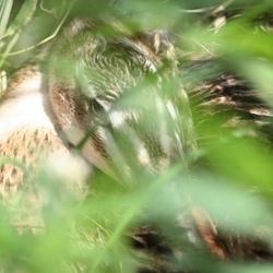 Moeder eend op eieren