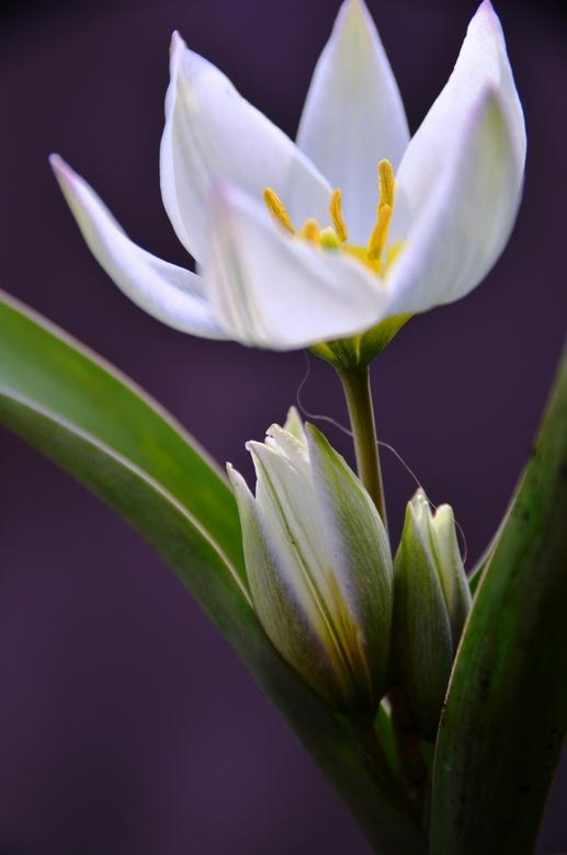 tulpje in pastel