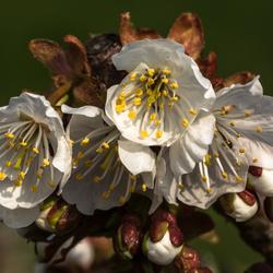 De fruitbomen komen in de bloei.