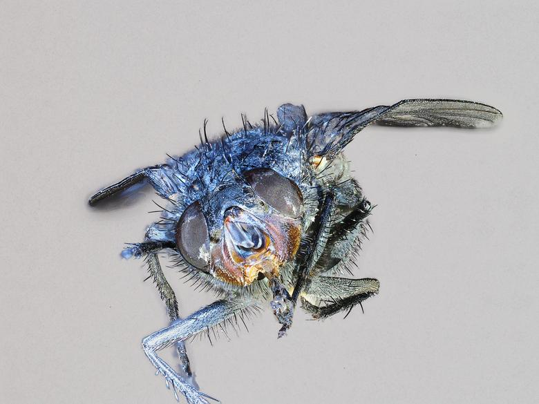 Bromvlieg - Een samenstel van 150 foto's van een gewone bromvlieg. Met de Olympus camera heb je geen toestanden nodig van sledes, maar stel je op