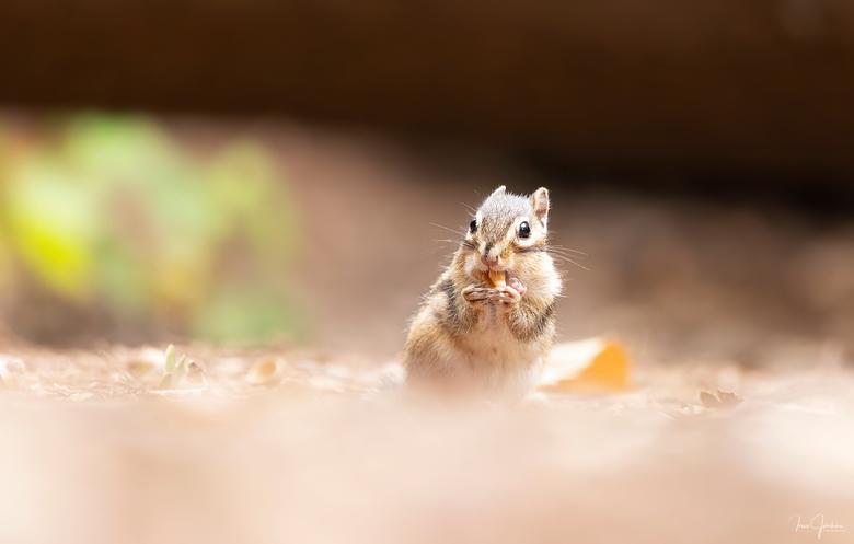 Grondeekhoorn -