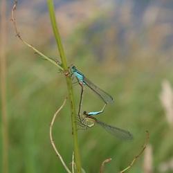 Libellen in Drenthe