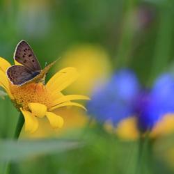 BruineVuurvlinder