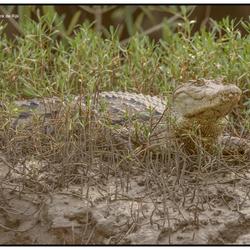 Kroko in Gambia
