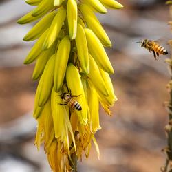 aloe met bijen