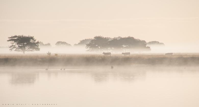 Koeien in de mist - Koeien in het vroege daglicht op het Dwingelderveld.