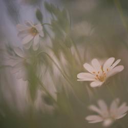 Foggy flowers.....
