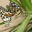 Papilio Demodocus ?