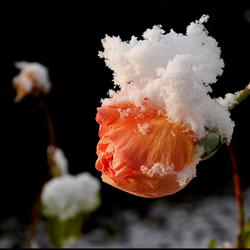 sneeuwmutsje !..