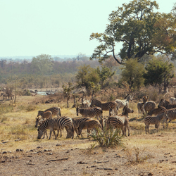 Kelperfontein zebra's
