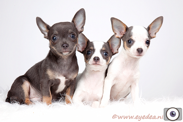 Chihuahua madness - Deze drie puppies zijn Chihuahua's...