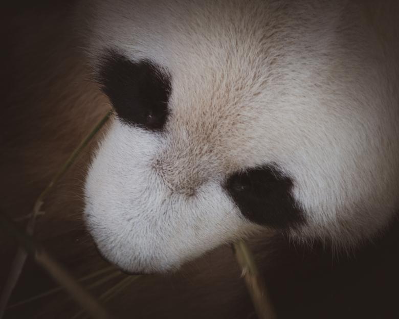 Xing Ya - gister naar Ouwehands Dierenpark geweest. Met deze foto&#039;s was ik wel blij. <br /> Nogmaals Xing Ya, de fotogenieke reuzenpanda