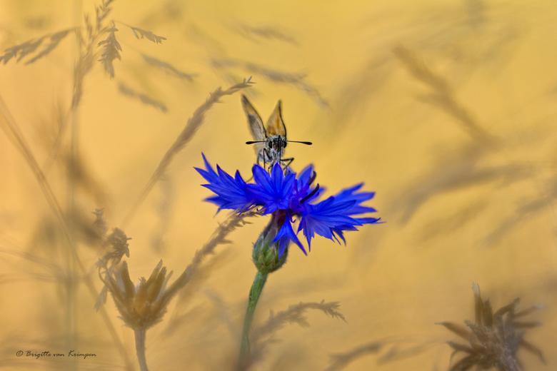 Golden Blue - Iereeen bedankt voor de fijne reacties op mijn vorige upload<br /> Eindelijk een vlindertje te pakken dit jaar.<br /> Dikkopje in het