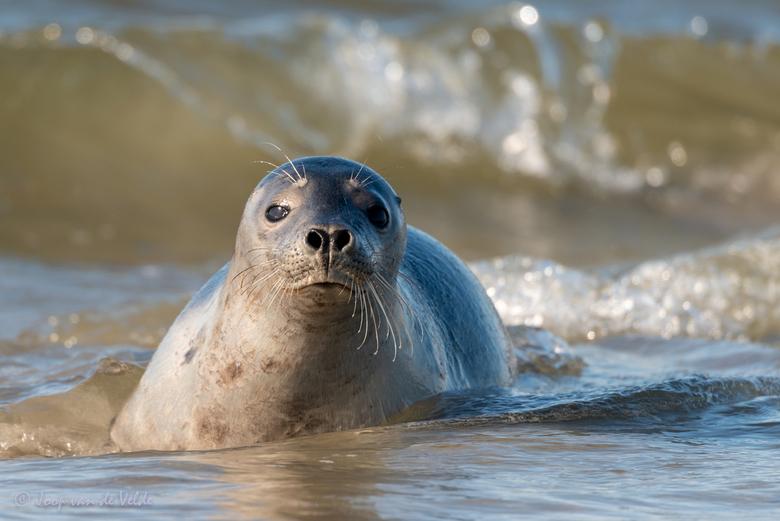 Zeehond op Helgoland-Düne