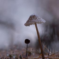 Kleine paddenstoel in de vorst