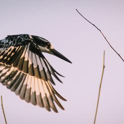 Morning Kingfisher