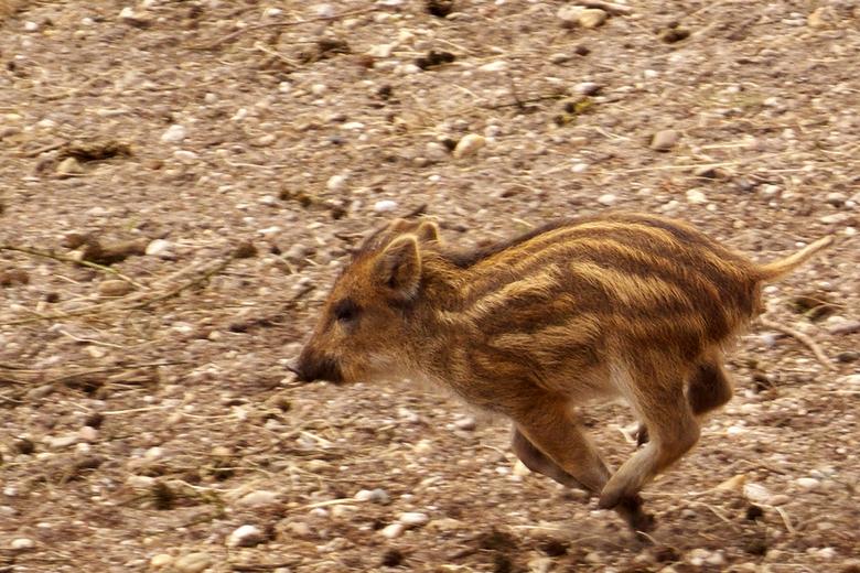 Biggetje van een wild zwijn in gallop - foto genomen bij het Aardhuis nabij Apeldoorn<br /> iso 400 <br /> f/4.0 <br /> 1/640