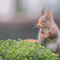 Eekhoorntje op de uitkijk