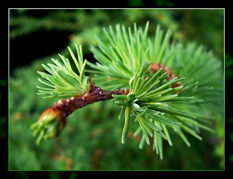 New Life - Ik heb een jonge larix in mijn tuin staan. <br /> <br /> Van: &#039;Bijna dode tak, liggend aan de kant van een bospad&#039; <br /> <br