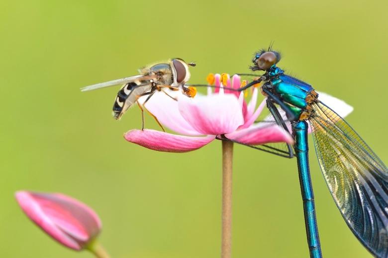 meeting - beekjuffer ontmoet een zweefvlieg