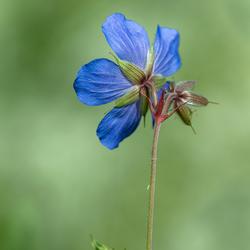 blauw bloem