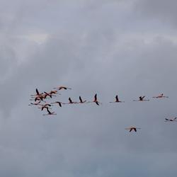 Flamboyance (vliegende flamingo's)