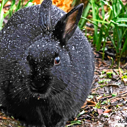 wild black rabbit