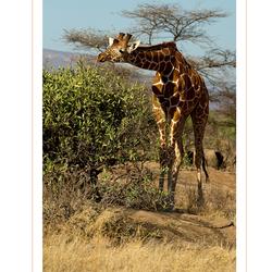 Reticulated Giraffe, Kenia