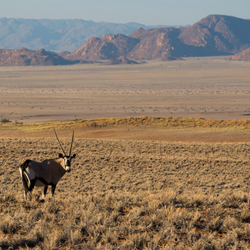 oryx in Namib-Naukluft National Park