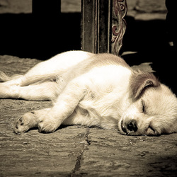 Hondenleven