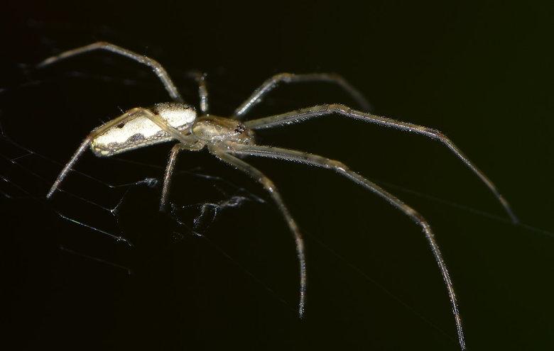 Gewone Strekspin (Tetragnatha Extensa) - De spin heeft een zeer slank lichaam en lange poten en gifkaken. Het achterlijf is zilverwit met een paar gel