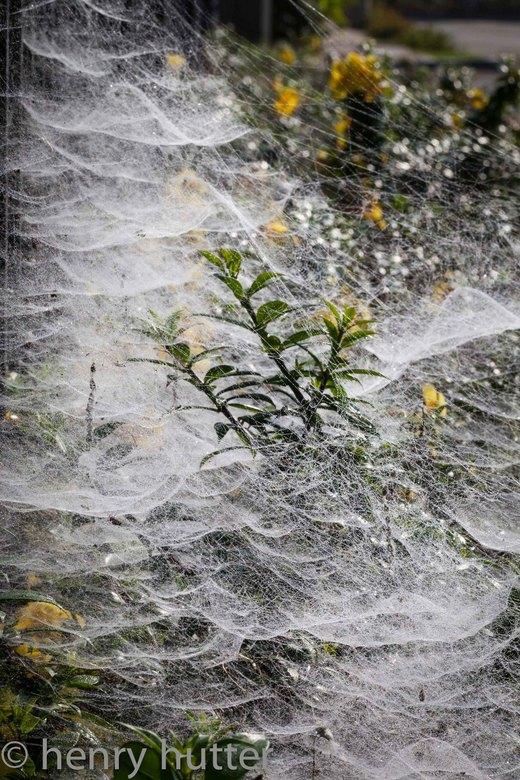 Webben - 's Ochtends op weg naar de schoolbus genomen. Gigantisch veel spnnen webben tussen het hek en de planten.