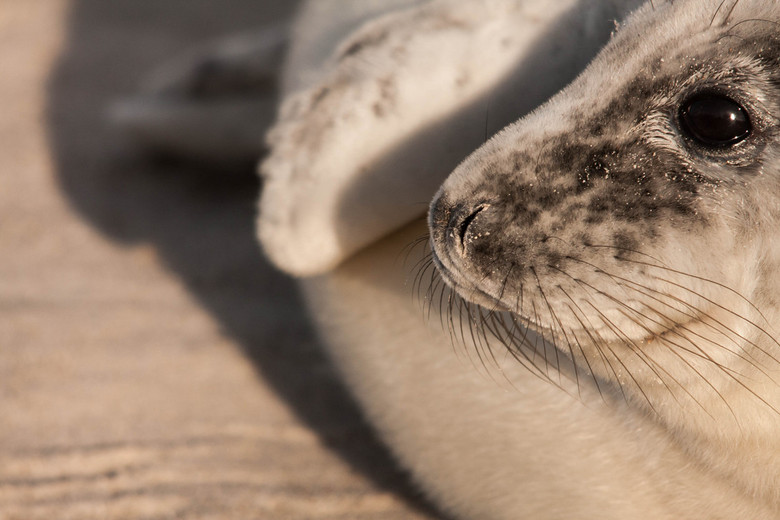 Zeehond - Nog maar n zeehonden foto van mn rijsje naar Helgoland, erg fijn licht had ik hier, en deze compositie sprak me zelf wel erg aan.