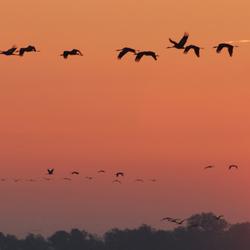 De kraanvogels gaan op pad